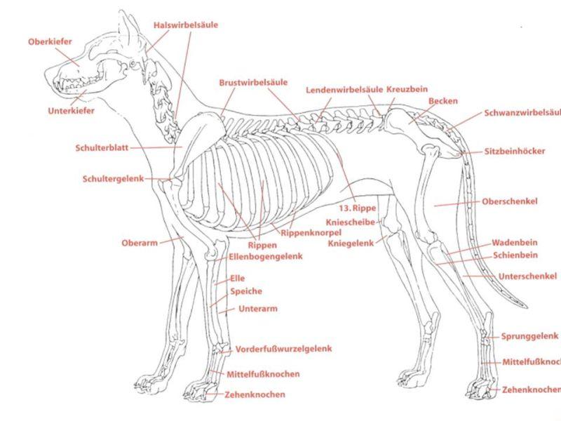 Niedlich Hunde Bauch Anatomie Fotos - Menschliche Anatomie Bilder ...