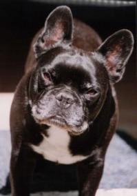 Französische Bulldogge - Harvey